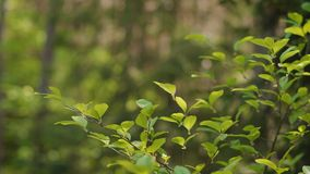 Leaves on the branches of a tree in the forest. Green leaves on the branches of a tree in a summer forest stock footage