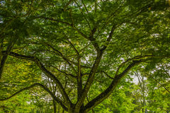 Leaves and branches. The view of leaves and branches with green colors Stock Photography