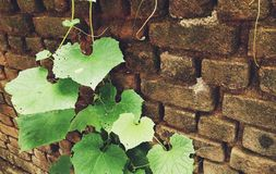 Leaves on brick wall for wallpaper, royalty free stock photography