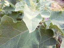 Leaves of bringels royalty free stock images
