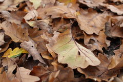 Leaves. Brown oak tree leaves fallen on the ground stock photo