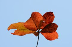 Leaves brown and sky before falling to the ground. royalty free stock image