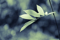 Leaves Bud Royalty Free Stock Photography