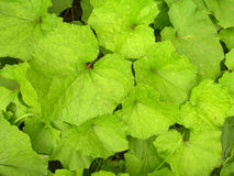 Leaves of burdock. Royalty Free Stock Photos