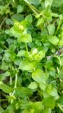 Leaves on bush. Green leaves in our little gardan Royalty Free Stock Image