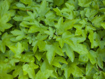 The leaves of the Bush green. Stock Photos