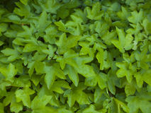 The leaves of the Bush green. Stock Photo