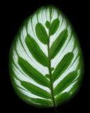 Leaves Calathea ornata pin stripe background Isolate. On black royalty free stock photography