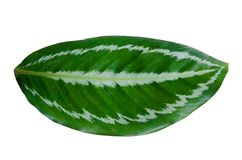 Leaves Calathea ornata pin stripe background White Isolate