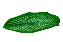 Leaves Calathea ornata pin stripe background White Isolate stock photos