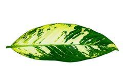 Leaves Calathea ornata pin stripe background White Isolate royalty free stock photos