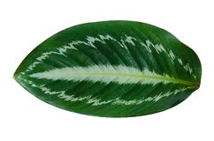 Leaves Calathea ornata pin stripe background White Isolate royalty free stock photography