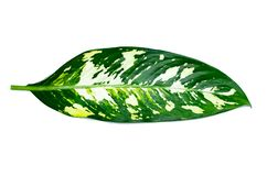 Leaves Calathea ornata pin stripe background White Isolate royalty free stock photography