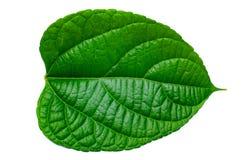 Leaves Calathea ornata pin stripe background White Isolate stock images