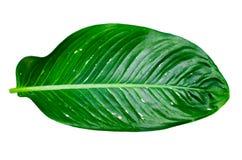 Leaves Calathea ornata pin stripe background White Isolate royalty free stock photo