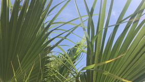 The leaves of a California palm tree sway in the wind against the blue sky. Bright sunny day.  stock video footage