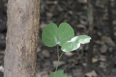 Leaves of a camel foot tree Bauhinia variegata. In West Africa royalty free stock photo