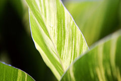 Leaves of canna indica Stock Image