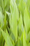 Leaves of canna lily Royalty Free Stock Image