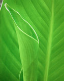Leaves Canna Lily Stock Photo