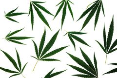 Leaves of cannabis isolated on white background stock photography
