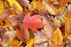 Leaves carpet in autumn season Stock Image