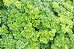 The leaves of carrots. The leaves of carrots in the garden of organic farming Royalty Free Stock Photos