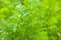 Leaves of carrots Royalty Free Stock Image