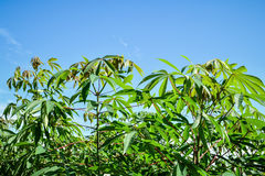 Leaves cassava Royalty Free Stock Photos