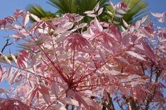 Leaves Cedrela sinensis. Pink leaves of Cedrela sinensis or Toona sinensis Royalty Free Stock Photos