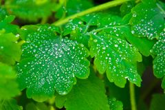 the leaves of the celandine are covered with large spherical transparent rain drops stock photos