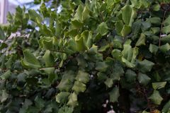Leaves from Ceratonia Silicua Johannisbread Tree royalty free stock photography