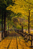 The leaves change color during  autumn Nami Island. In  Korea Royalty Free Stock Images