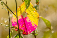 Leaves Change color in Autumn season. Royalty Free Stock Image