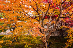 The leaves change color Royalty Free Stock Photo