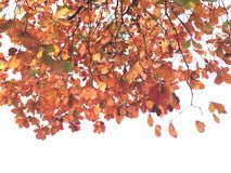 Leaves change color. Leaves color turn to orange Stock Photography