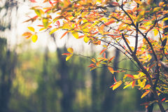 Leaves change colors Royalty Free Stock Image
