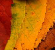 Leaves Changing. An array of fall leaves Stock Image