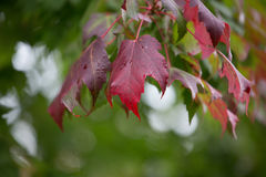 Leaves Changing Royalty Free Stock Images