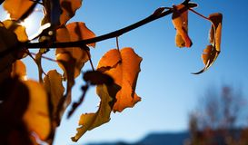 Leaves Changing Color, Arizona Stock Photography