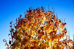 Leaves changing color in the Fall, Arizona Royalty Free Stock Photo