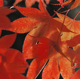 Leaves Changing Color In The Fall Royalty Free Stock Images