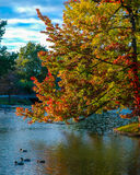 Leaves changing colors in fall. Stock Photography