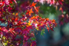 Leaves changing colors in Japan stock photo