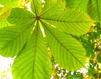 Leaves of a chestnut Royalty Free Stock Photography