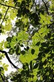 Leaves on chestnut. In park - detail stock photo