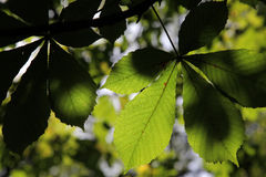Leaves on chestnut Stock Photo