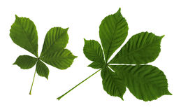 Leaves of a chestnut Stock Images