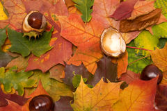 Leaves and chestnut closeup. Red leaves and chestnut closeup Royalty Free Stock Photos