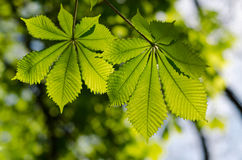 Leaves of the chestnut forest Stock Photos